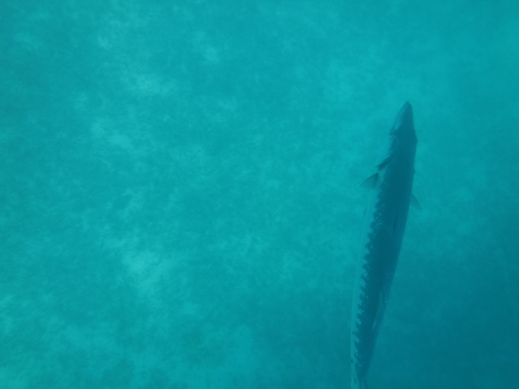 hungry-hungry-barracuda